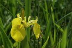 Irisblüte 2010